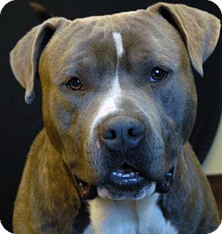Pit Bull Terrier Mix Dog for adoption in Newland, North Carolina - Zeus