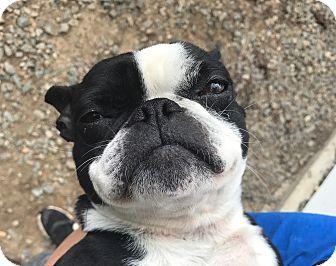 Boston Terrier Dog for adoption in Greensboro, North Carolina - Froggie