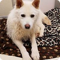 Adopt A Pet :: Bella SK - Hillside, IL