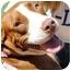 Photo 1 - American Bulldog/American Pit Bull Terrier Mix Dog for adoption in Orlando, Florida - Maci