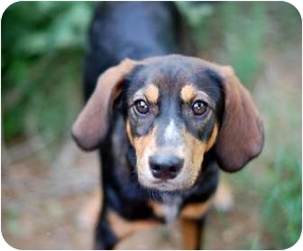 Black and Tan Coonhound Mix Puppy for adoption in Dallas, Texas - Jackpot