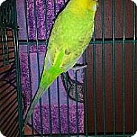 Adopt A Pet :: Hannah - Lenexa, KS