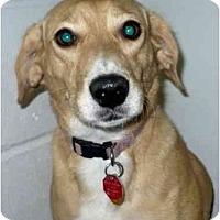 Adopt A Pet :: Heidi - Toronto/Etobicoke/GTA, ON
