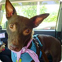 Adopt A Pet :: Mocha good w cats and nice kid - Sacramento, CA