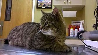Domestic Shorthair Cat for adoption in Walnut Creek, California - Mush