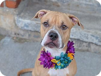 Pit Bull Terrier/Boxer Mix Dog for adoption in New York, New York - CC