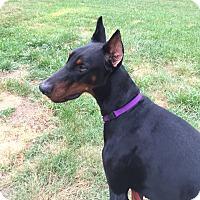 Adopt A Pet :: Jack - Arlington, VA