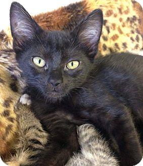 Domestic Shorthair Kitten for adoption in Hendersonville, North Carolina - Pom Pom
