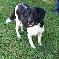 Beagle Mix Dog for adoption in Perryville, Missouri - Susie Q
