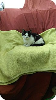 Domestic Shorthair Kitten for adoption in University Park, Illinois - Winnie