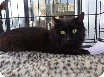 Domestic Mediumhair Cat for adoption in Berkeley, California - Midnight