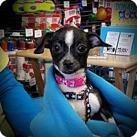 Adopt A Pet :: Trixie - Dallas, TX