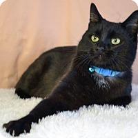 Bombay Cat for adoption in Roanoke, Texas - Binx