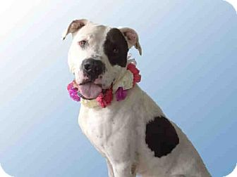 Pit Bull Terrier/Great Dane Mix Dog for adoption in Jackson, California - MOOMOO