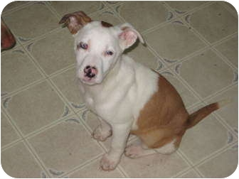 Australian Shepherd/Catahoula Leopard Dog Mix Puppy for adoption in Madison, Wisconsin - Stella