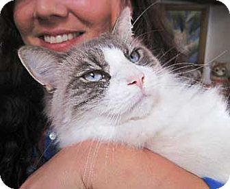 Ragdoll Cat for adoption in Davis, California - Lucas