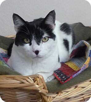 Domestic Shorthair Cat for adoption in St. Petersburg, Florida - Madigan