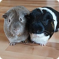 Adopt A Pet :: Bob & Mr. Pickles - Brooklyn Park, MN