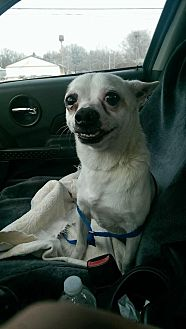 Chihuahua Mix Dog for adoption in Crown Point, Indiana - Nacho