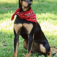 Adopt A Pet :: Buttercup - Greenville, SC