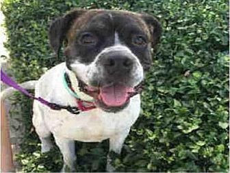 American Bulldog Mix Dog for adoption in Atlanta, Georgia - BRUTUS
