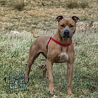 Pit Bull Terrier Mix Dog for adoption in Centerburg, Ohio - Brady