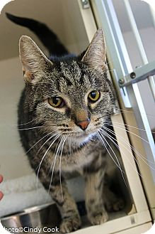 Domestic Shorthair Cat for adoption in Ann Arbor, Michigan - Tucker
