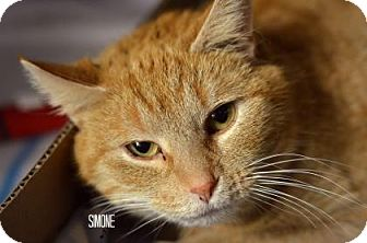 Domestic Shorthair Cat for adoption in Niagara Falls, New York - Simone