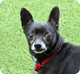 Chihuahua Mix Dog for adoption in Loxahatchee, Florida - Bobby 125