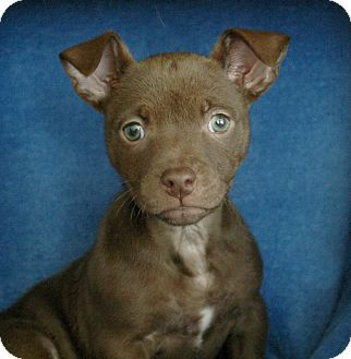 Pug/Terrier (Unknown Type, Small) Mix Puppy for adoption in Sacramento, California - Isabella