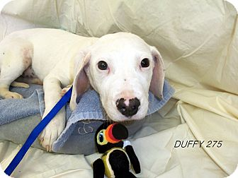 Pointer/Boxer Mix Dog for adoption in Waldorf, Maryland - Duffy #275
