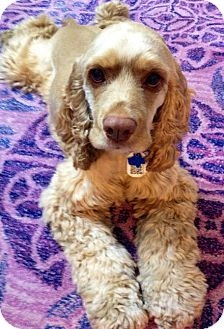 Cocker Spaniel Dog for adoption in Sugarland, Texas - Harvey