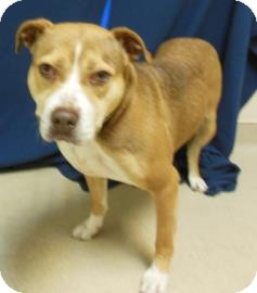 Pit Bull Terrier Mix Dog for adoption in Gary, Indiana - Katie