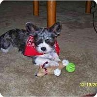 Adopt A Pet :: Wall-E - Rigaud, QC