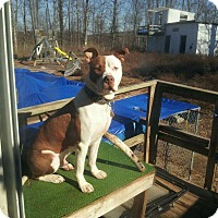 American Pit Bull Terrier Mix Dog for adoption in Staunton, Virginia - Bandit