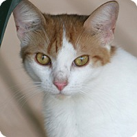 Domestic Shorthair Cat for adoption in North Fort Myers, Florida - Calvine