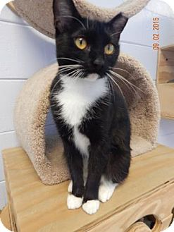Domestic Shorthair Kitten for adoption in Fort Myers, Florida - Brooke