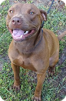 Pit Bull Terrier Mix Dog for adoption in Brooksville, Florida - TUCKER