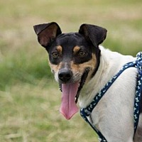 Smooth Fox Terrier/Jack Russell Terrier Mix Dog for adoption in Baton Rouge, Louisiana - Tobi