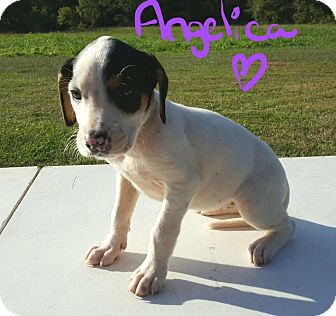 Beagle Mix Puppy for adoption in Albany, North Carolina - Angelica