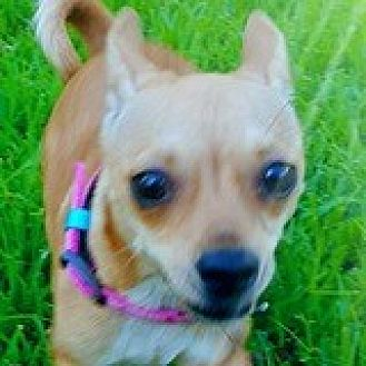 Dachshund/Chihuahua Mix Dog for adoption in Houston, Texas - Chiquita Collegiate