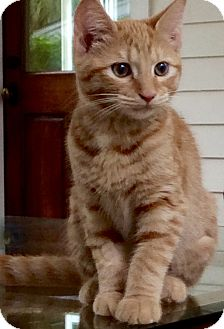 Domestic Shorthair Kitten for adoption in Beaufort, South Carolina - Cleo