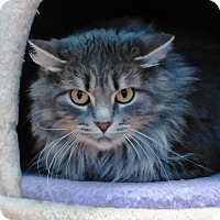 Domestic Longhair Cat for adoption in Cloquet, Minnesota - Vixen