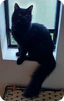 Domestic Mediumhair Cat for adoption in Yuba City, California - Finn