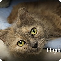 Adopt A Pet :: Daphne - Glen Mills, PA