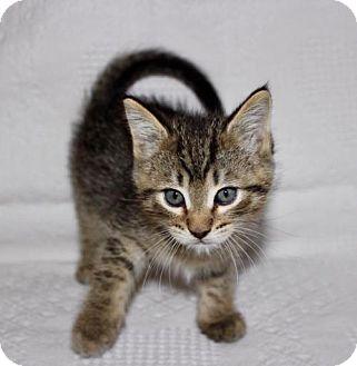Domestic Shorthair Kitten for adoption in Pendleton, New York - Nunzio
