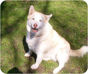 Siberian Husky Dog for adoption in Belleville, Michigan - Nota