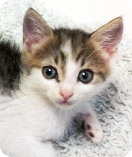 Domestic Shorthair Kitten for adoption in Irvine, California - Ozzy