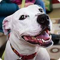 Pit Bull Terrier/American Bulldog Mix Dog for adoption in Durham, New Hampshire - Happy SWEETCAKE the wigglebutt