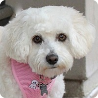 Adopt A Pet :: Scarlett - La Costa, CA